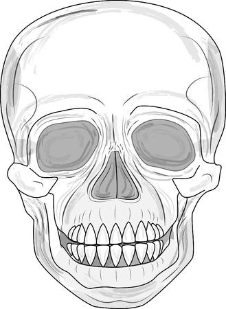 Human skull (illustration)