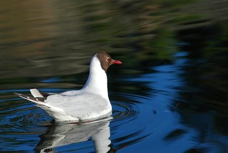 reflexion: Una gaviota de cabeza negra con la reflexi�n en el mar en calma
