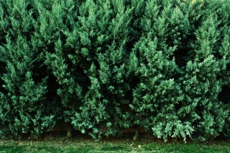 green pine Stok Fotoğraf - 17163331