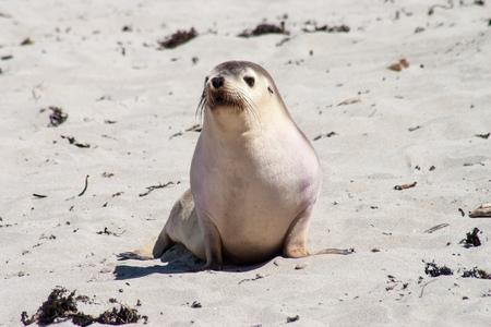 Little Seal on a beach of Kangaroo Island Stock Photo