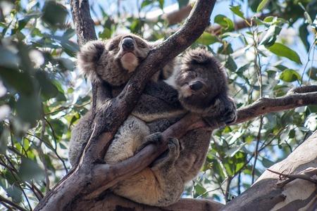 kangaroo island: Mama with Baby Koala on Kangaroo Island