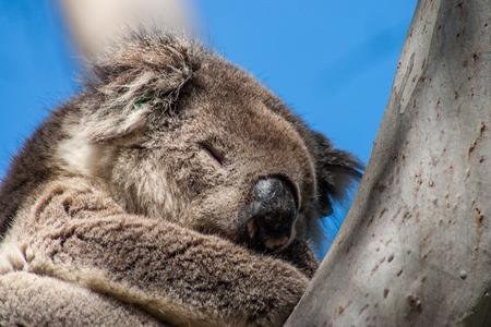 kangaroo island: Koala on Kangaroo Island in eucalyptus tree Stock Photo