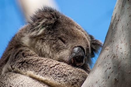 eucalyptus tree: Koala on Kangaroo Island in eucalyptus tree Stock Photo