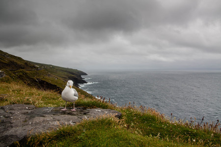 Seagull sitting on Dingle Penisula Kerry Ireland