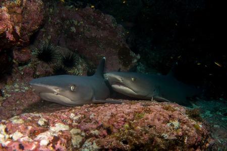 cocos: Pair of reef sharks Cocos island Costa Rica