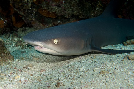 cocos: Whitetip Shark in Cocos Island Costa Rica