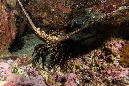 cocos: Old Lobster in Cocos Island Costa Rica