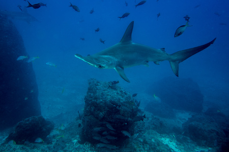 cocos: Hammerhead shark in cocos island Costa Rica