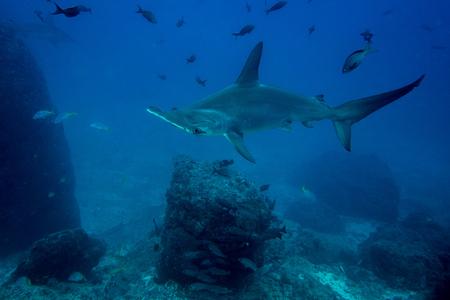 pez martillo: tiburón martillo en la Isla del Coco Costa Rica