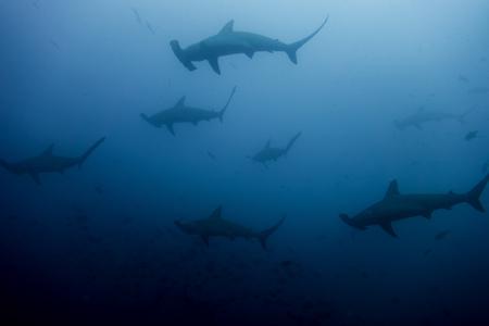 cocos: School of hammerhead sharks in cocos island