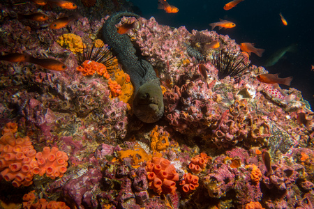 A famous spotted Morray Eel in Malpelo Colombia Stock Photo