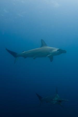 pez martillo: Escuela de tiburones martillo en la isla de Malpelo