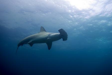 pez martillo: Un tiburón martillo en la isla de Malpelo Colombia Foto de archivo