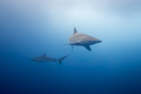 tow silky sharks around Malpelo island in colombia Stock Photo