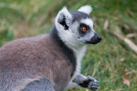 Portrait of a Lemur in the zoo of Augsburg