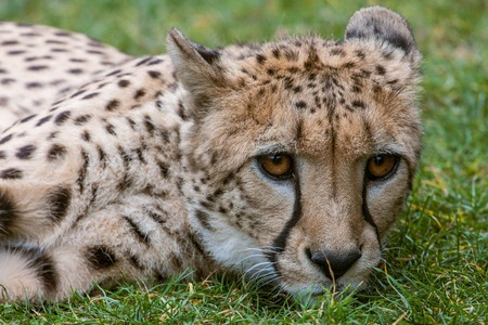 Portrait of a cheetah in the zoo of Leipzig