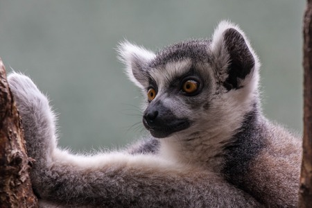 Portrait of a Lemur in the zoo of Leipzig