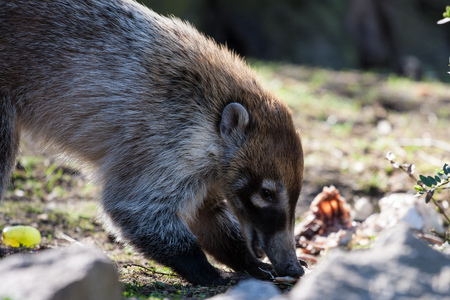 Coati in the Zoo of Prague Czech