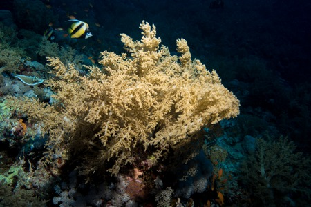 hard coral: Soft coral in the red sea