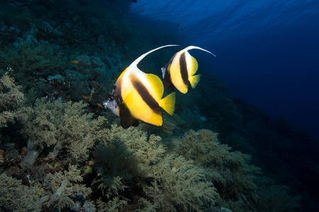 pennant bannerfish in the red sea Stock Photo