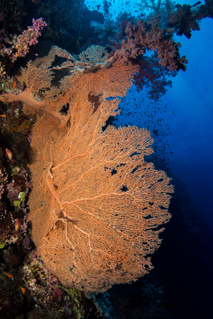 seafan: gorgonian coral in the red sea