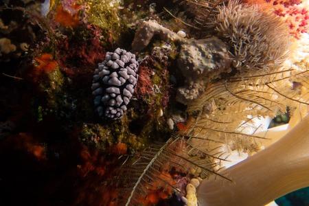sea slug: Nudibranch in the red sea