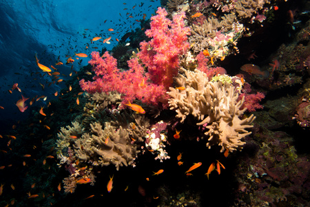reefscape: Coral garden in the red sea in egypt