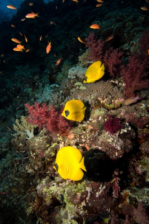 chaetodontidae: blue-cheeked butterflyfish in the red sea in egypt