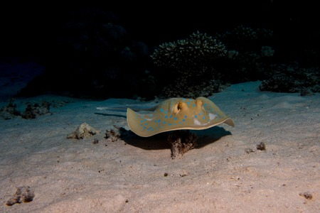 blue point sting ray