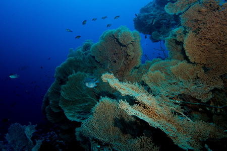 seafan: gorgonian coral in the red sea in egypt Stock Photo