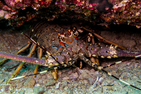 Lobster in oman