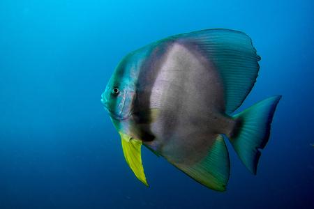 Bat fish oman