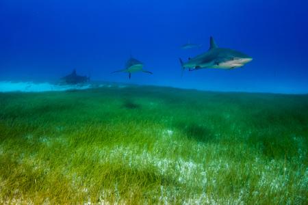 Caribbean reef sharks Bahamas Stock Photo