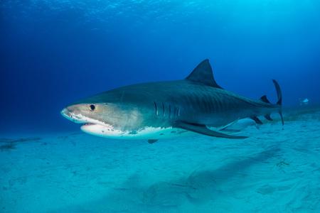 Tiger shark Bahamas Banco de Imagens