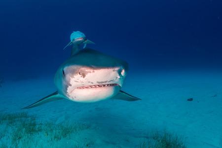 Tiger shark Bahamas Stock Photo