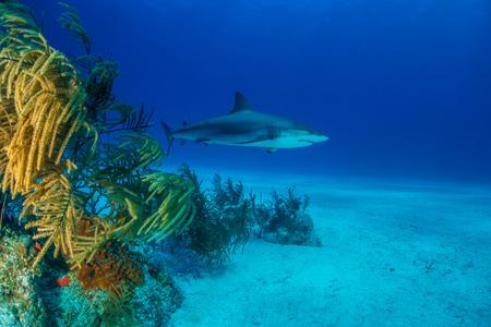 Reef Shark Bahamas