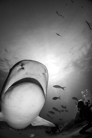 Tiger shark around Bahamas in Tiger Beach 版權商用圖片