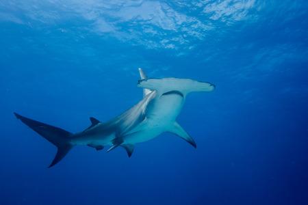 Great hammerhead shark around the Bahamas in Bimini