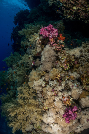 Coral garden in the red sea in egypt