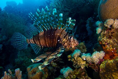 Lionfish in the red sea in egypt Stock Photo