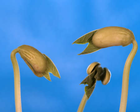 common bean: close up of trhee common bean sprouts Stock Photo