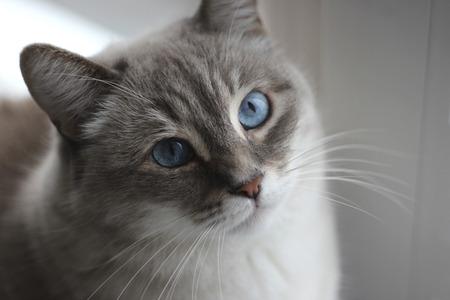 Portrait of the beautiful blue eyes cat Foto de archivo