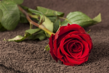 Red rose lying on brown towel   photo