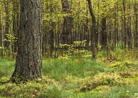 lone pine: Lone pino que crece en el bosque rodeada de avellanos j�venes Foto de archivo