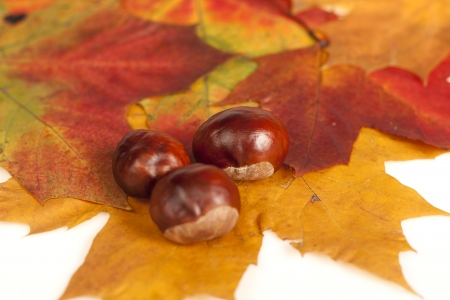 Chestnut lying on maple tree leaf   photo