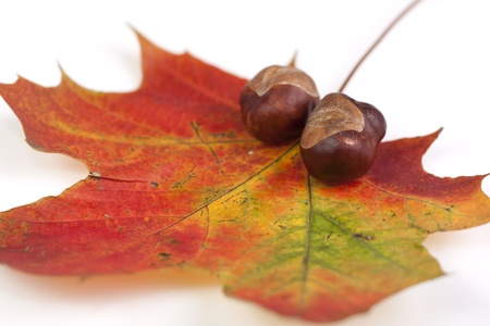 conkers: Chestnut lying on maple tree leaf