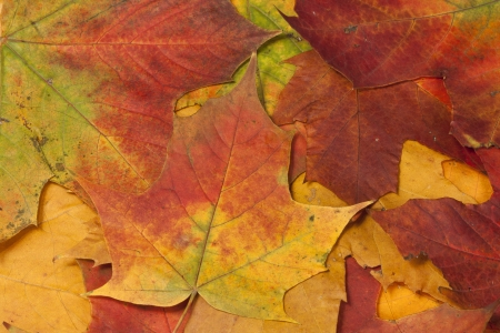 Background made of autumn, brown, red, yellow, orange maple