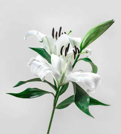 Beautiful white lily on yellow color background.flower and nature,close up Banco de Imagens