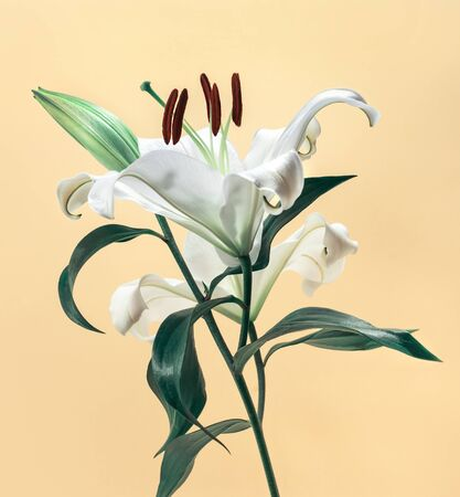 Beautiful white lily on pestel color background.flower and nature,close up