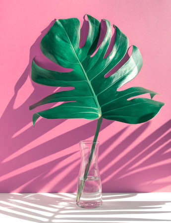 Monstera leaves in glass jug with sunlight and long shadow on color wall background.tropical nature and house decorative ideas 스톡 콘텐츠 - 155368436